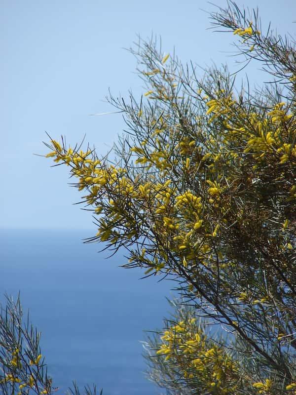 Acacia aneura photo