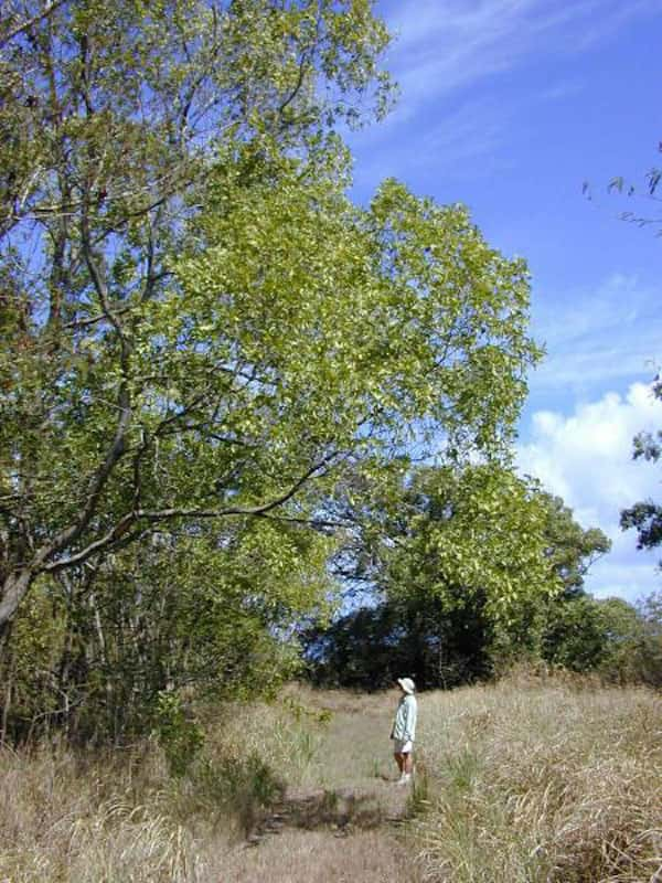Acacia auriculiformis photo