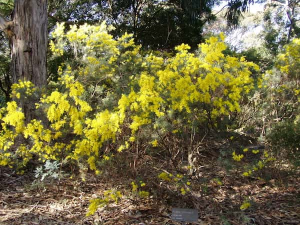 Acacia boormanii photo