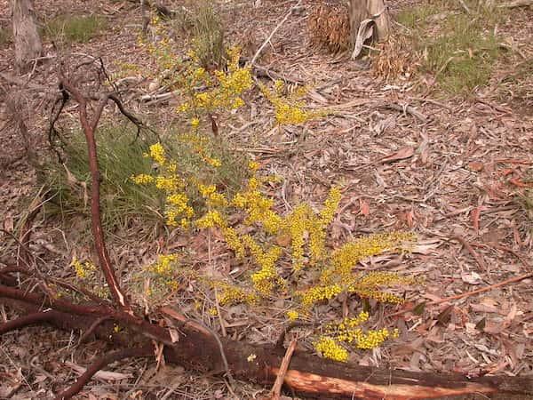 Acacia buxifolia photo