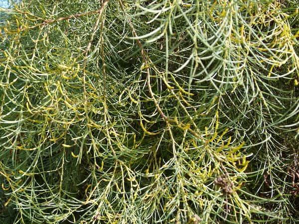 Acacia calamifolia photo
