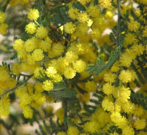 Acacia cardiophylla photo