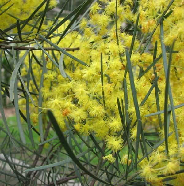 Acacia cognata photo
