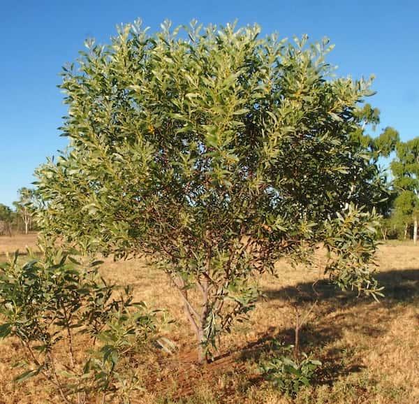 Acacia colei photo