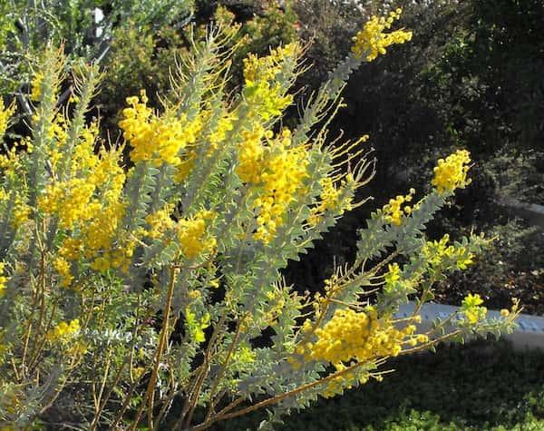 Acacia cultriformis photo