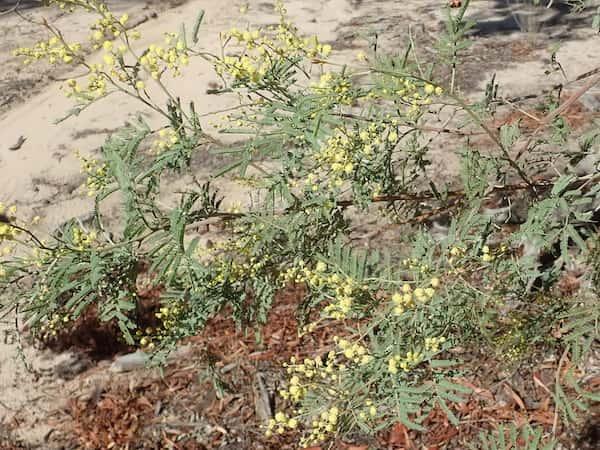 Acacia deanei photo