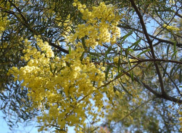 Acacia decora photo