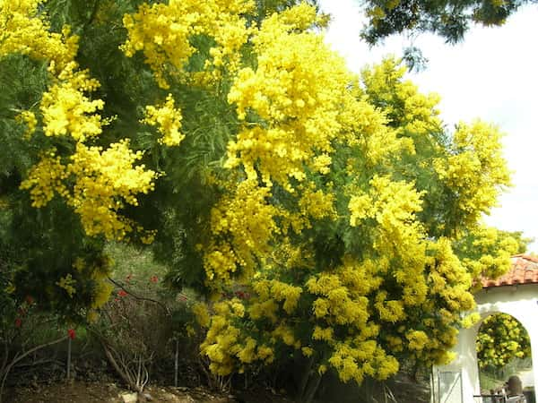 Acacia decurrens photo