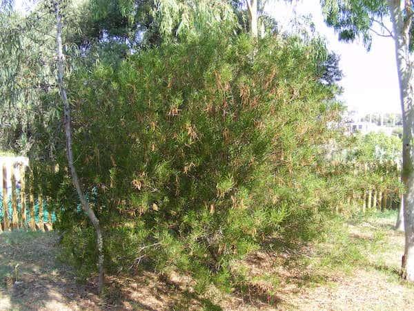 Acacia dodonaeifolia photo