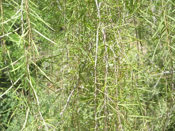 Acacia estrophiolata photo
