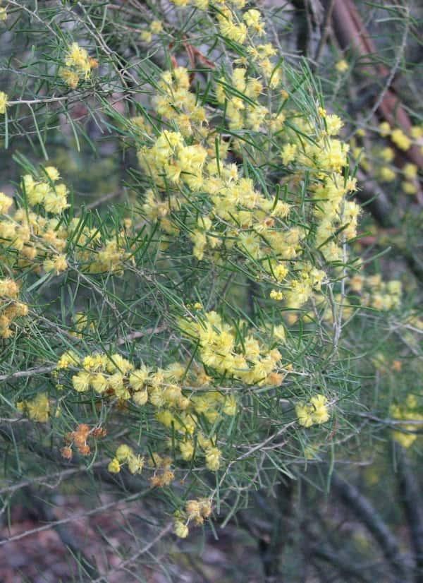 Acacia flexifolia photo