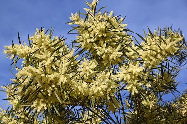 Acacia floribunda photo