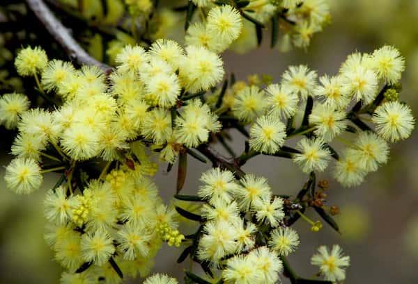 Acacia genistifolia photo