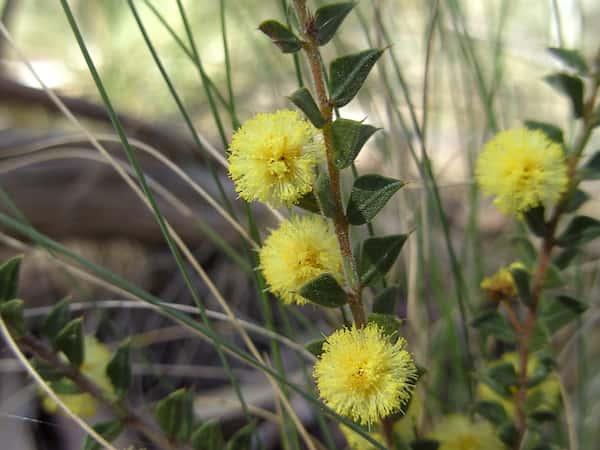Acacia gunnii photo