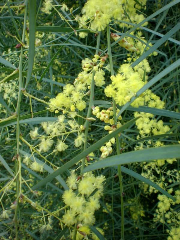 Acacia iteaphylla photo