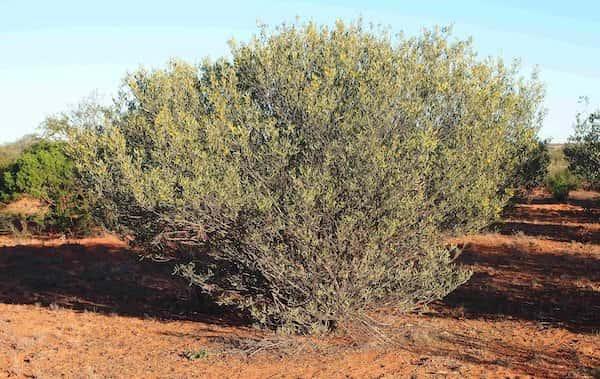 Acacia kempeana photo