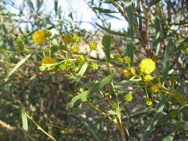 Acacia ligulata photo