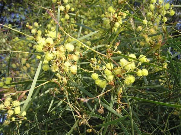 Acacia linearifolia photo
