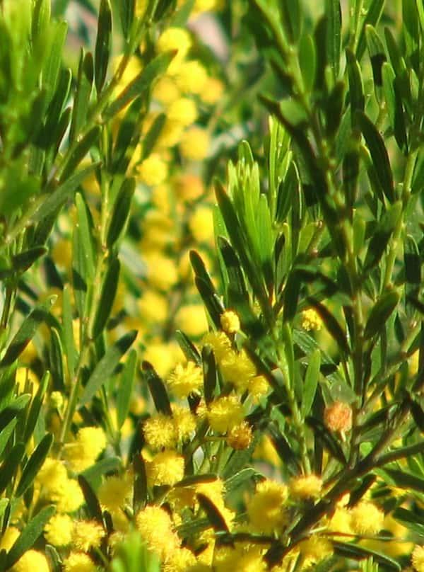 Acacia lineata photo