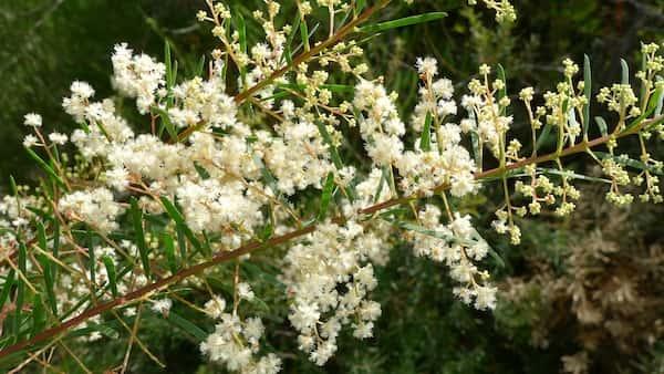 Acacia linifolia photo
