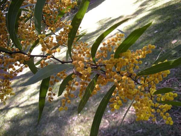 Acacia macradenia photo