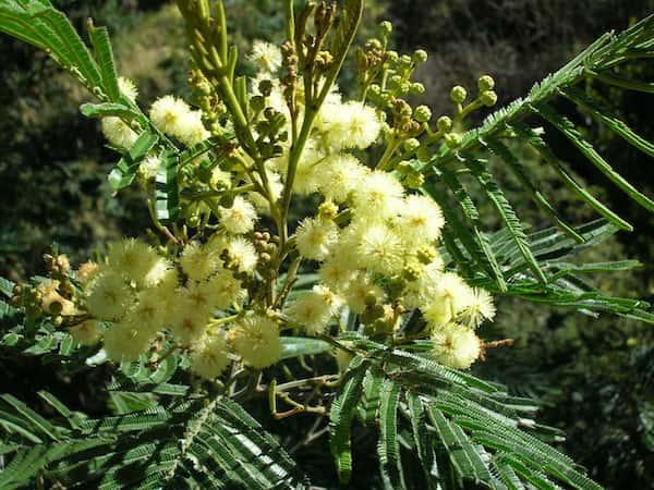 Acacia mearnsii photo