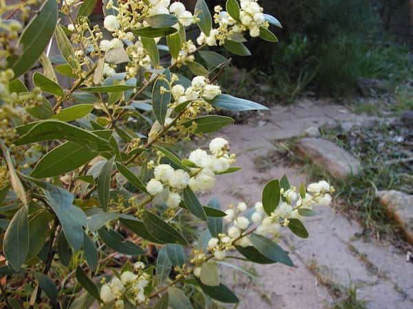 Acacia myrtifolia photo
