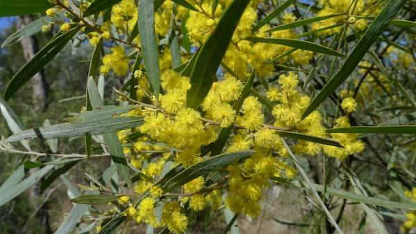 Acacia neriifolia photo