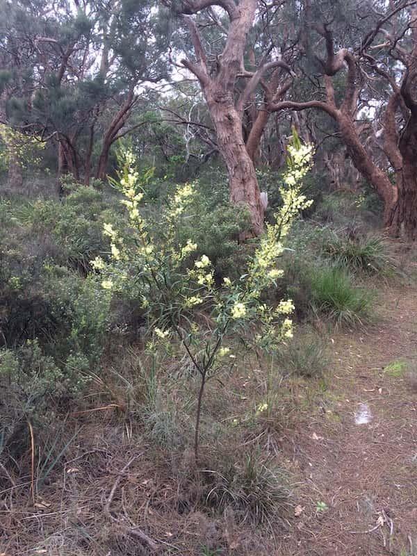 Acacia nervosa photo