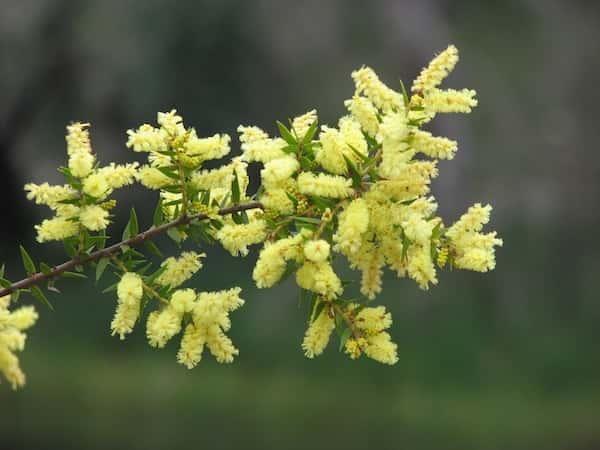 Acacia oxycedrus photo