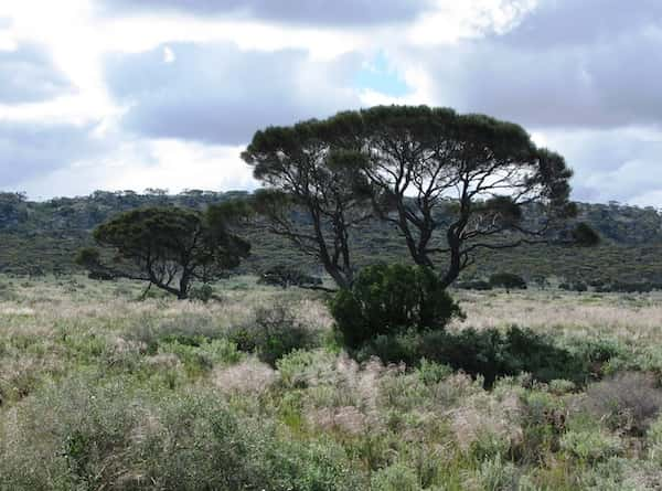 Acacia papyrocarpa photo