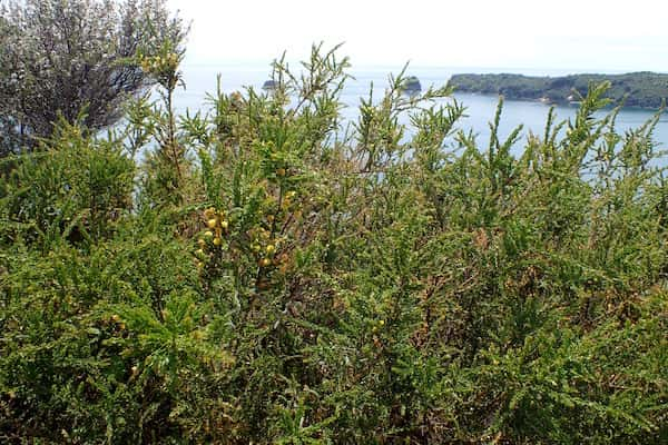 Acacia paradoxa photo