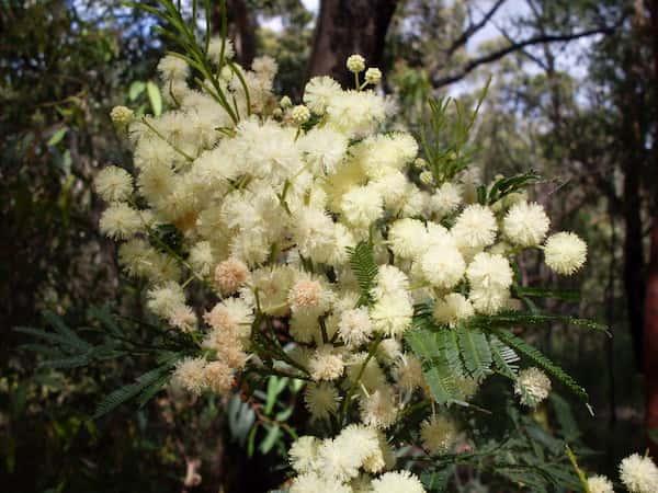 Acacia parramattensis photo