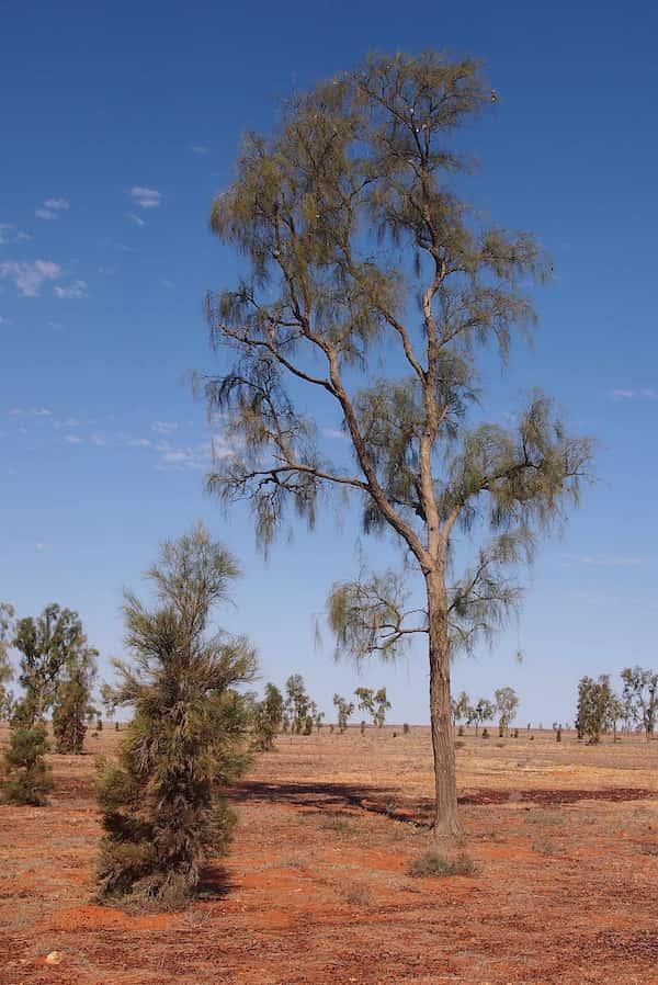 Acacia peuce photo