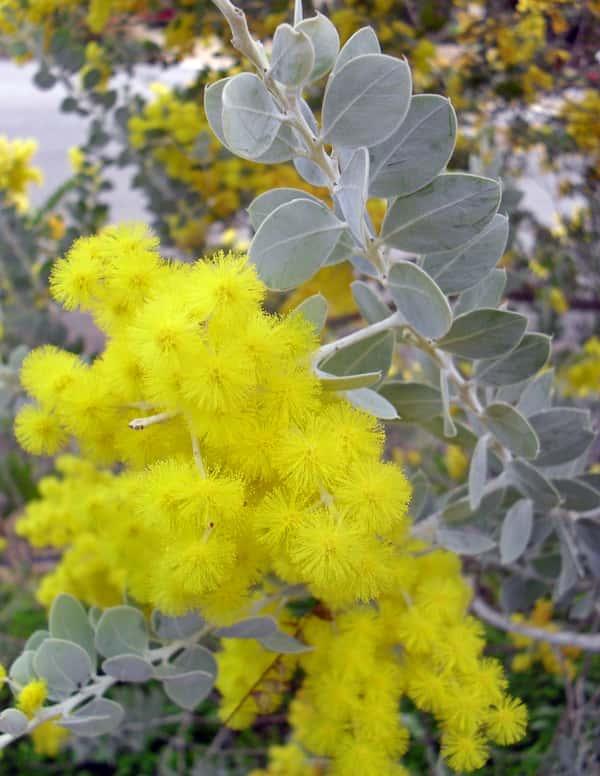 Acacia podalyriifolia photo