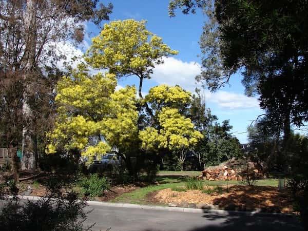 Acacia prominens photo