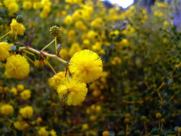 Acacia pulchella photo