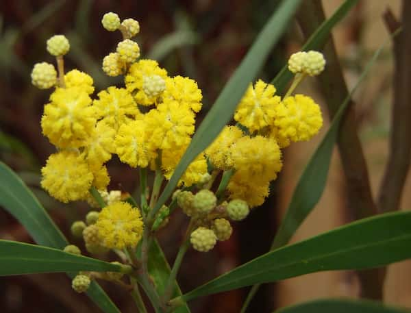Acacia retinodes photo