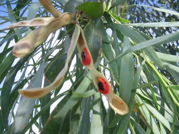 Acacia salicina photo