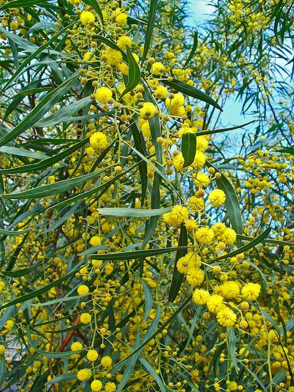 Acacia saligna photo