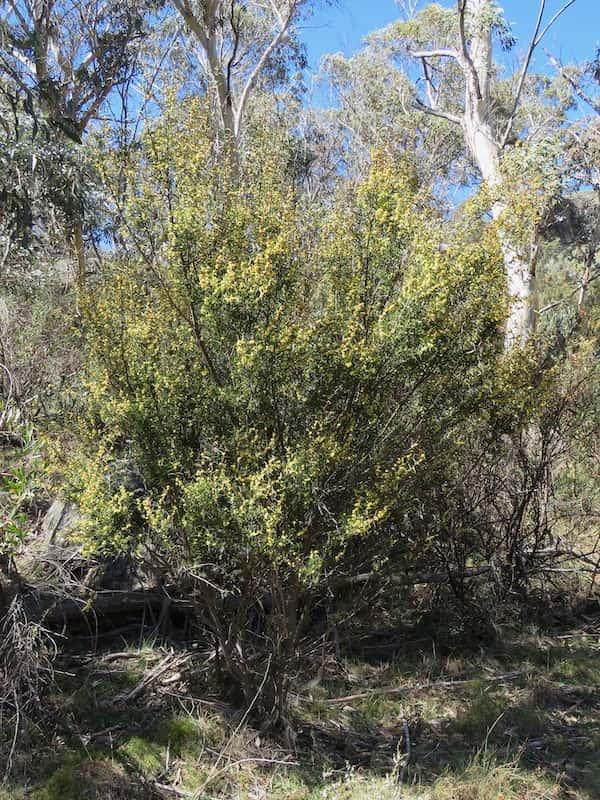 Acacia siculiformis photo