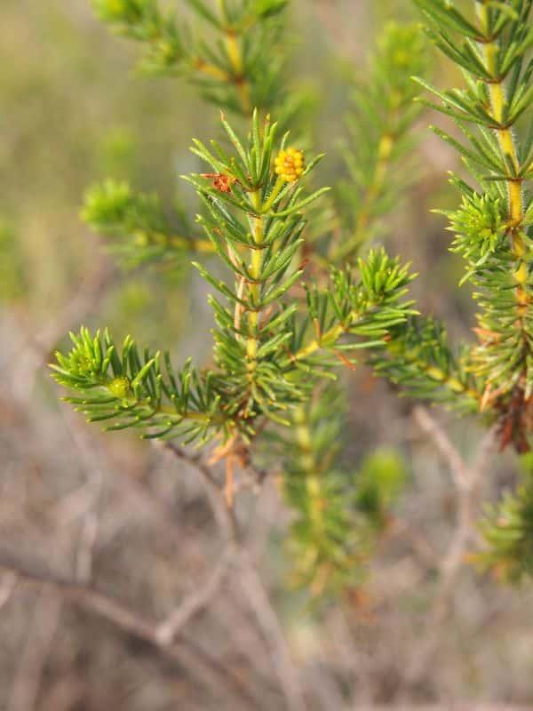 Acacia spondylophylla photo