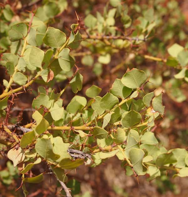 Acacia strongylophylla photo