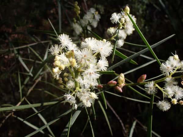 Acacia suaveolens photo