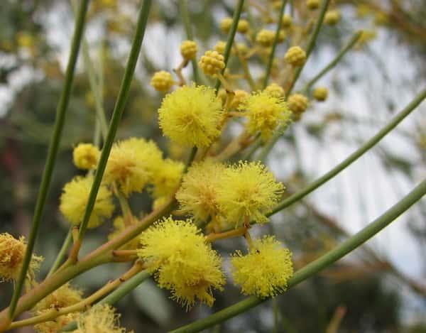 Acacia subulata photo