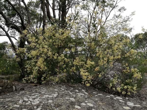 Acacia terminalis photo