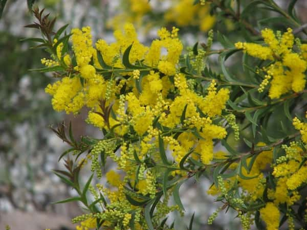 Acacia triptera photo
