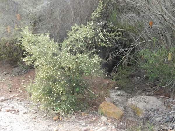Acacia ulicifolia photo