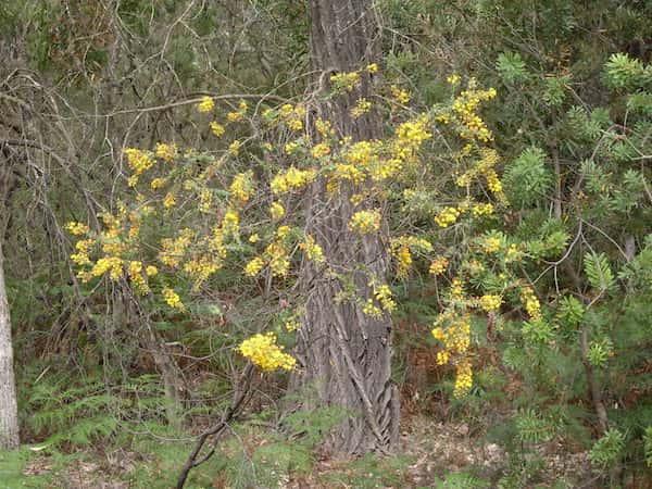 Acacia uncinata photo