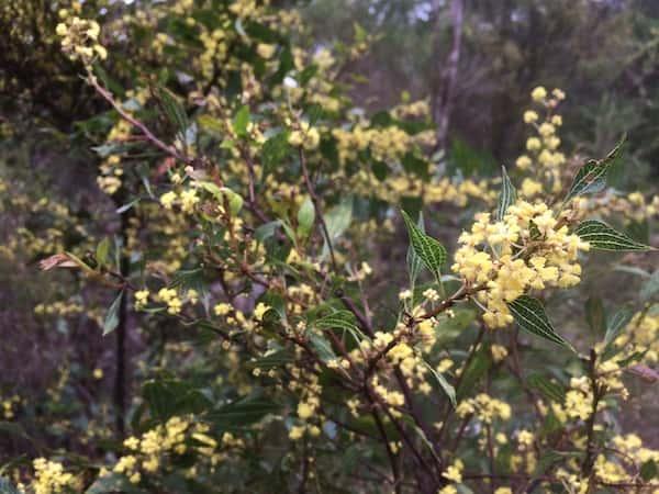 Acacia urophylla photo